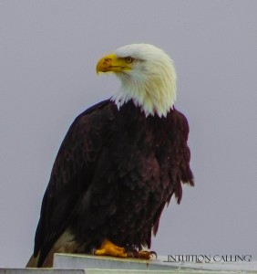 eagle 2 (1 of 1)w
